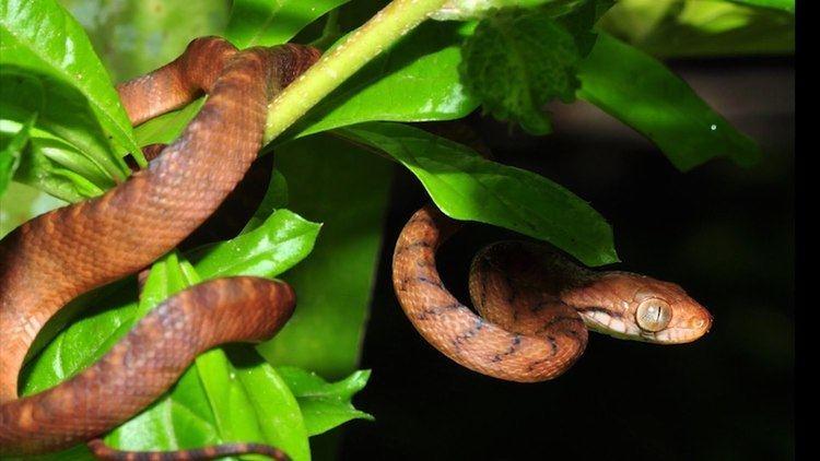 Brown tree snake Brown Tree Snake YouTube
