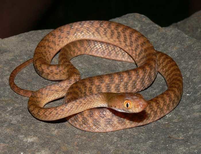 Brown tree snake CalPhotos Boiga irregularis Brown Tree Snake