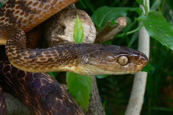 Brown tree snake Brown Tree Snake