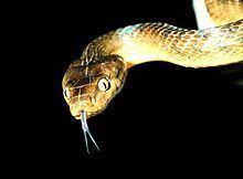 Brown tree snake httpsuploadwikimediaorgwikipediacommonsthu