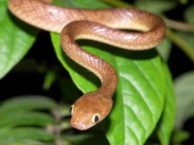Brown tree snake Brown Tree Snake Facts and Pictures Reptile Fact