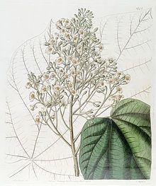 Brownlowia httpsuploadwikimediaorgwikipediacommonsthu