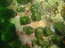 Brush nudibranch httpsuploadwikimediaorgwikipediacommonsthu
