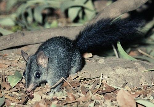 Brush-tailed phascogale Brushtailed Phascogale Project