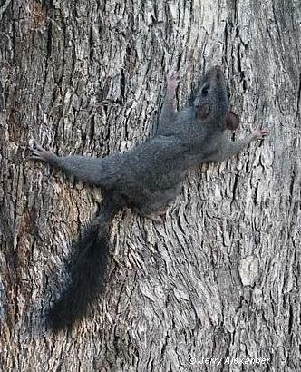 Brush-tailed phascogale wwwswifftnetaucbpagesimagesPhoto20library