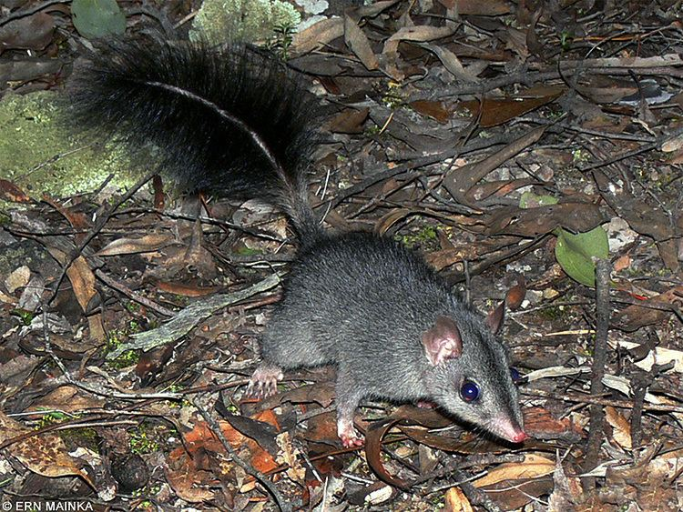 Brush-tailed phascogale Round the Bend Tuan or Brushtailed Phascogale