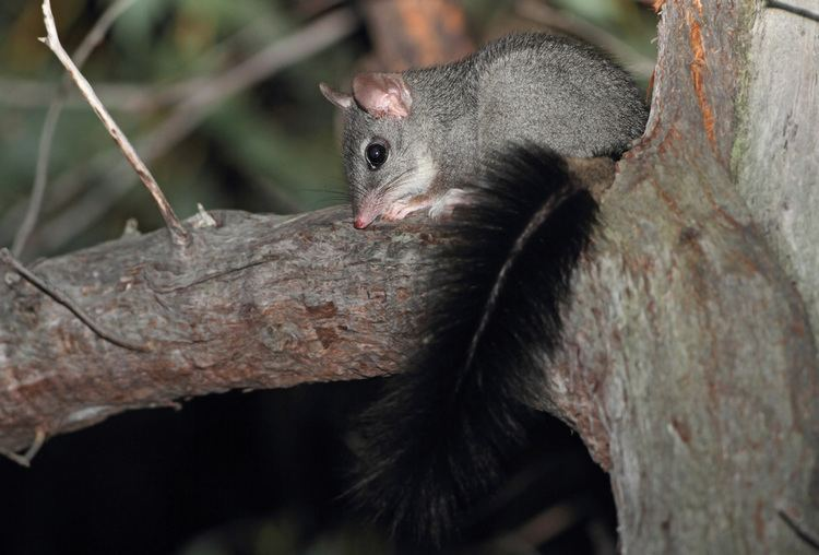 Brush-tailed phascogale brushtailed phascogale Kylie Soanes39s Research