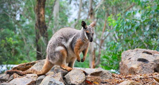 Brush-tailed rock-wallaby Brushtailed rock Wallaby ThingLink