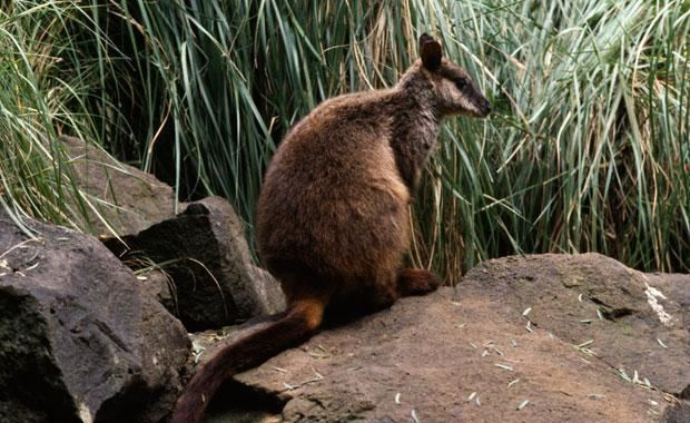 Brush-tailed rock-wallaby Brushtailed Rock Wallaby Zoos Victoria