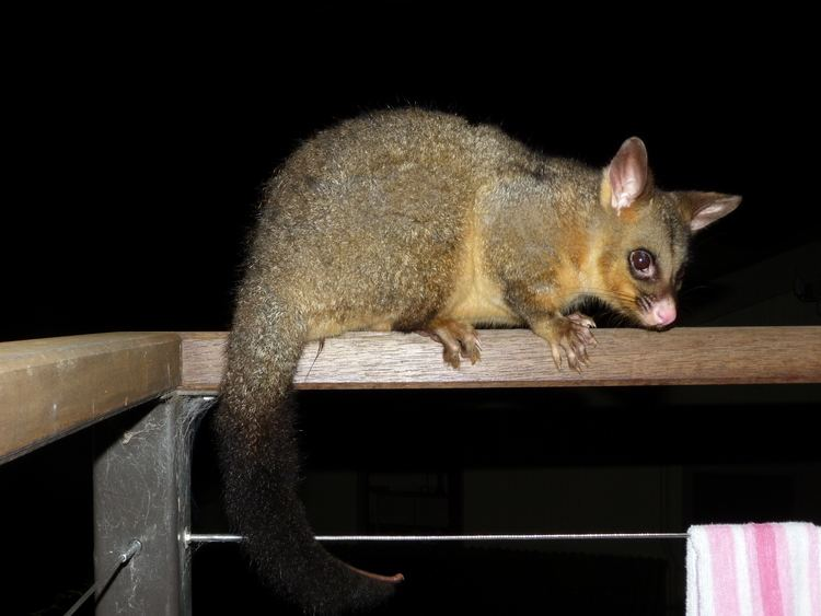 Brushtail possum FileTrichosurus vulpecula 4jpg Wikimedia Commons