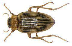 Brychius httpsuploadwikimediaorgwikipediacommonsthu