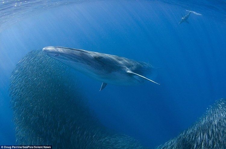 Bryde's whale Photographer captures rare moment a Bryde39s whale breaches the ocean