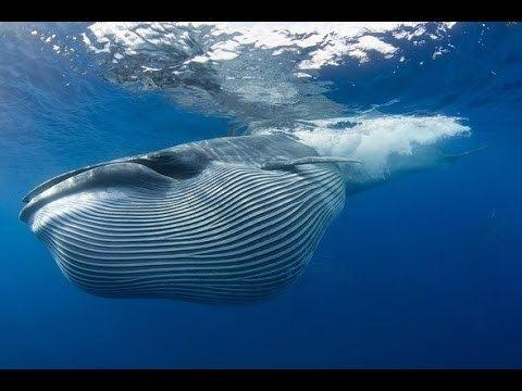 Bryde's whale httpsiytimgcomvifXE4uf1802ohqdefaultjpg