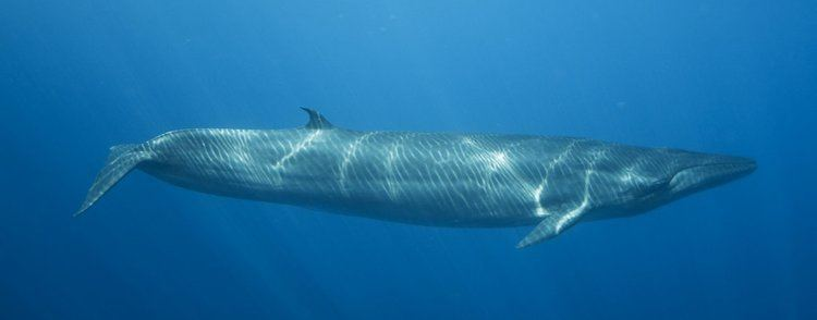 Bryde's whale Bryde39s Whale Species Guide Whale and Dolphin Conservation