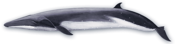 Bryde's whale Bryde39s Whale Baleen Whales Voices in the Sea
