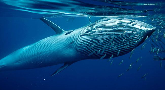 Bryde's whale ESA Listing of the Gulf39s Bryde39s Whales DOW Blog