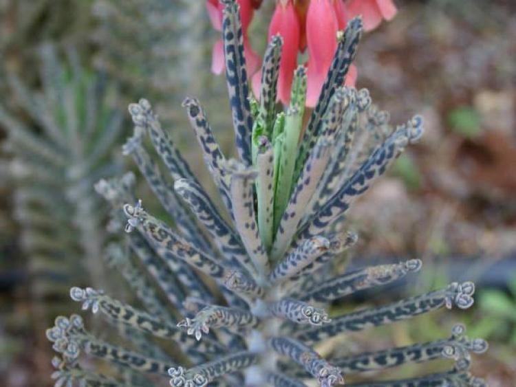 Bryophyllum delagoense Bryophyllum delagoense Invasive Species Cape Town Invasives