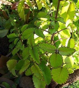 Bryophyllum pinnatum Kartuz Greenhouses Bryophyllum pinnatum