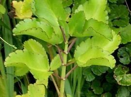 Bryophyllum pinnatum Bryophyllum