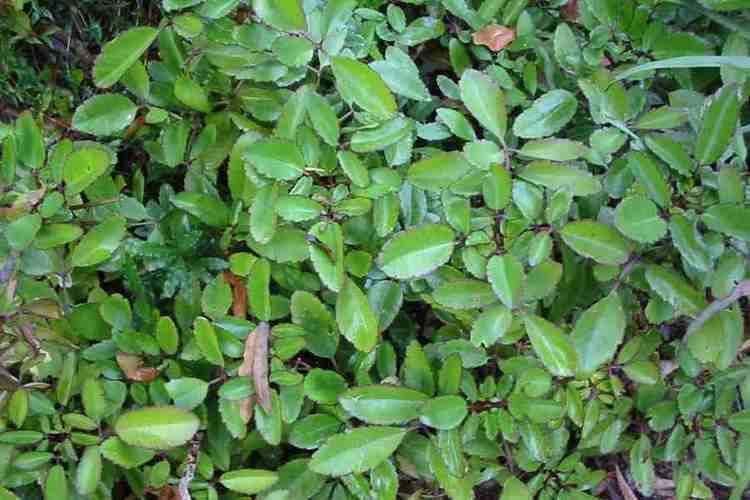 Bryophyllum pinnatum Bryophyllum pinnatum
