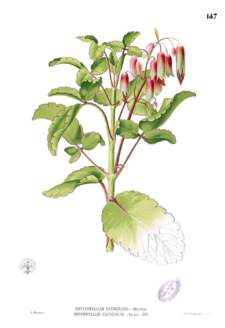 Bryophyllum pinnatum httpsuploadwikimediaorgwikipediacommons11