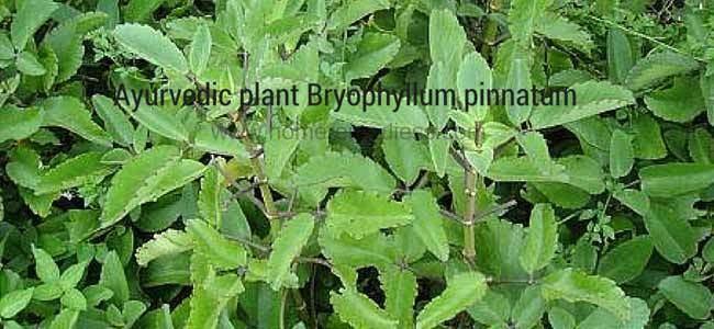 Bryophyllum pinnatum Bryophyllum pinnatum Ayurvedic plant uses and pics