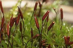 Bryopsida Bryopsida Wikispecies