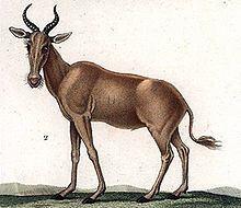 Bubal hartebeest httpsuploadwikimediaorgwikipediacommonsthu