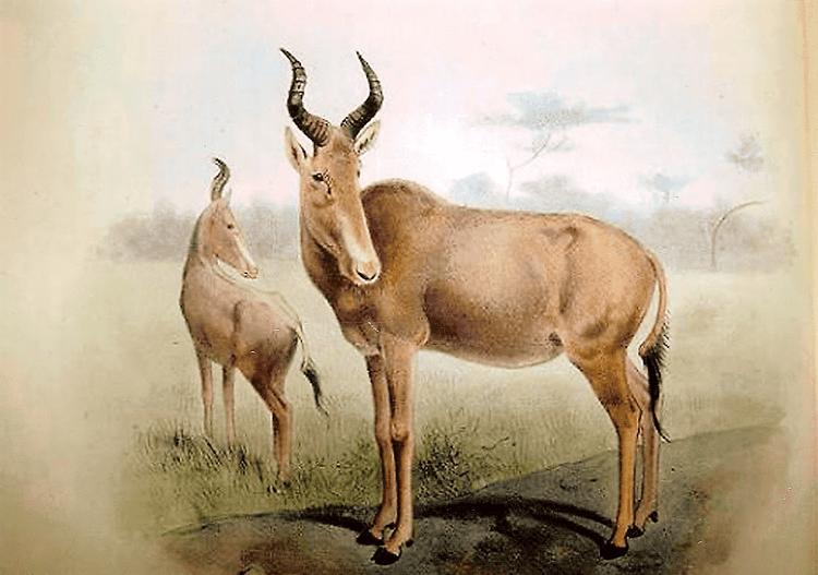 Bubal hartebeest Extinction around the world Pyrenean Ibex and Bubal Hartebeest
