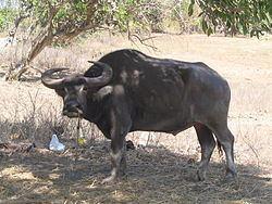 Bubalus Bubalus bubalis carabanesis Wikipedia