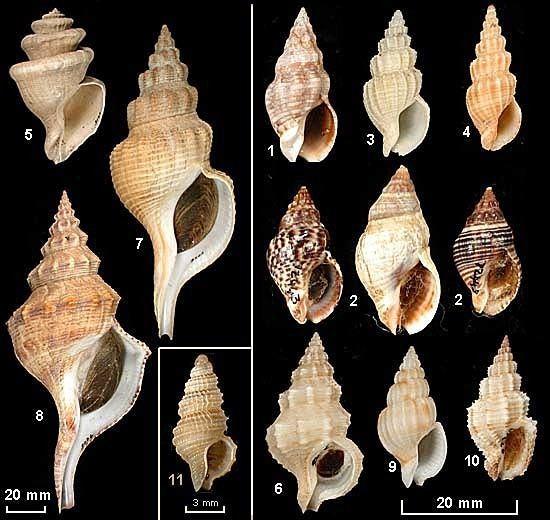 Buccinidae seashellsofnsworgauBuccininaeImagesbuccininae