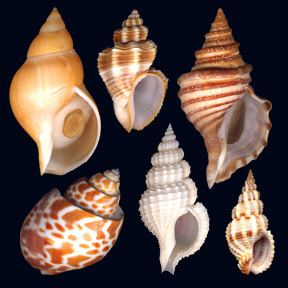 Buccinidae 1000 images about Buccinidae family Whelks and Neptunes on Pinterest