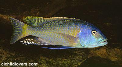 Buccochromis wwwcichlidloverscombrhoadesiiJPG