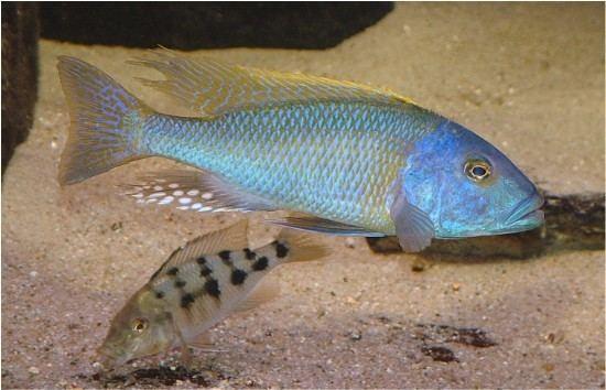 Buccochromis Buccochromis rhoadesi