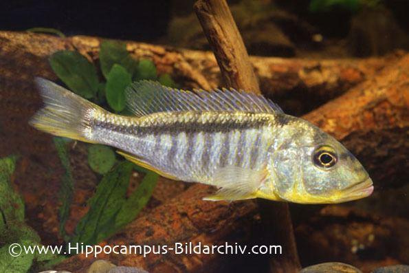 Buccochromis Buccochromis lepturus Slender Tail Hap Seriously Fish