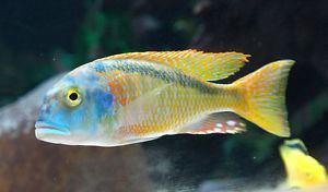 Buccochromis MALE Buccochromis Nototaenia Cichlid Haplochromide African 2 inch