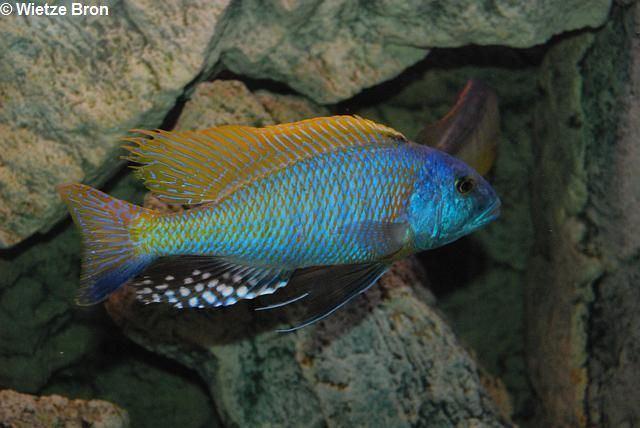 Buccochromis CichlidForum Buccochromis rhoadesii DL warning