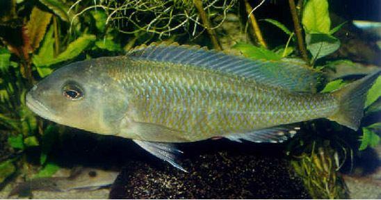 Buccochromis BUCCOCHROMIS species