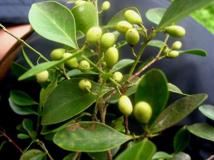 Buchanania Buchanania arborescens Anacardiaceae image 25446 at PhytoImages