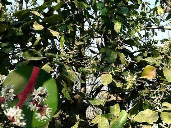 Buchanania BUCHANANIA LANZAN Spreng
