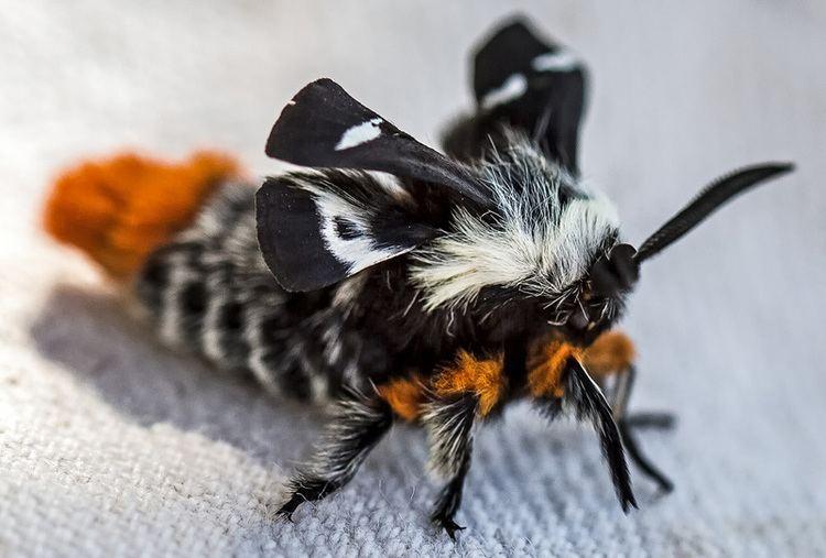 Buck moth Newly Emerged Buck Moth What39s That Bug