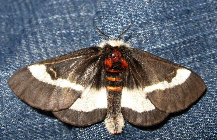 Buck moth Buck Moth What39s That Bug