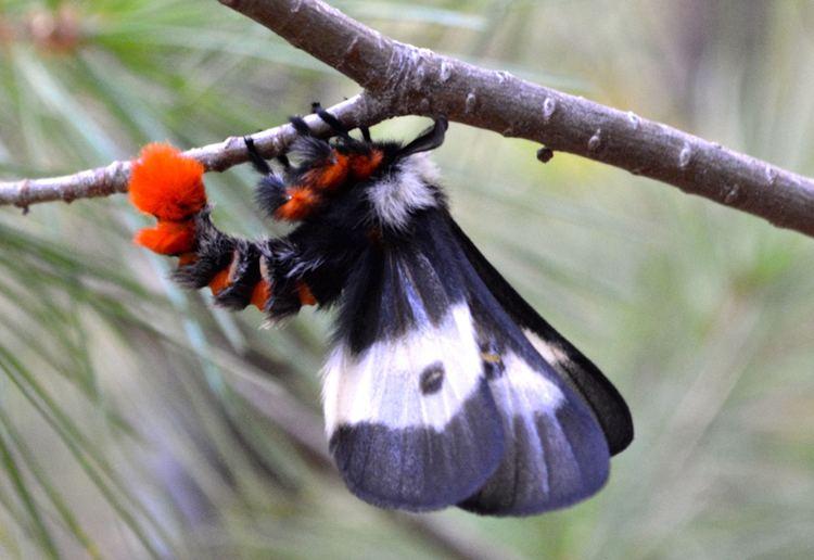 Buck moth Buck Moth Harbinger of Autumn What39s That Bug