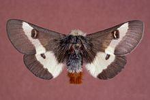 Buck moth httpsuploadwikimediaorgwikipediacommonsthu