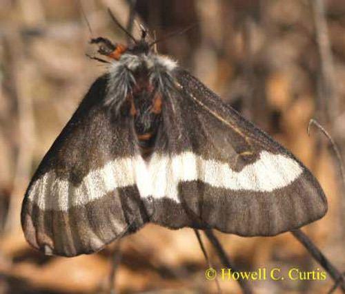 Buck moth buck moth Hemileuca maia Drury
