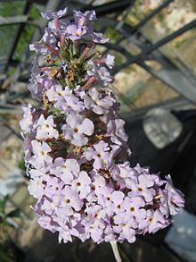 Buddleja agathosma httpsuploadwikimediaorgwikipediacommonsthu