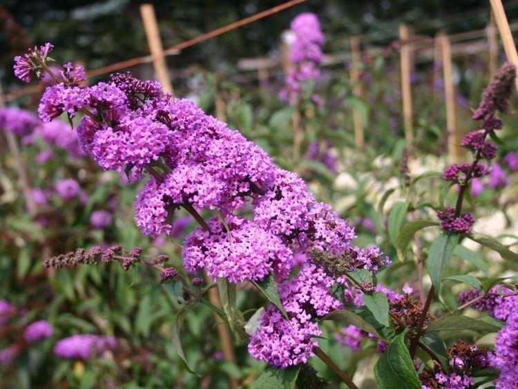 Buddleja davidii 'Border Beauty' Sommerflieder Schmetterlingsstrauch 39Border Beauty39 Buddleja