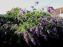 Buddleja davidii 'Dartmoor' httpsuploadwikimediaorgwikipediacommonsthu