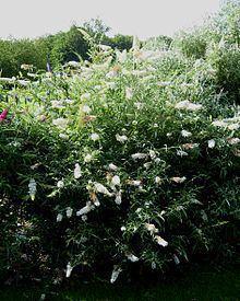 Buddleja davidii 'Dart's Ornamental White' httpsuploadwikimediaorgwikipediacommonsthu