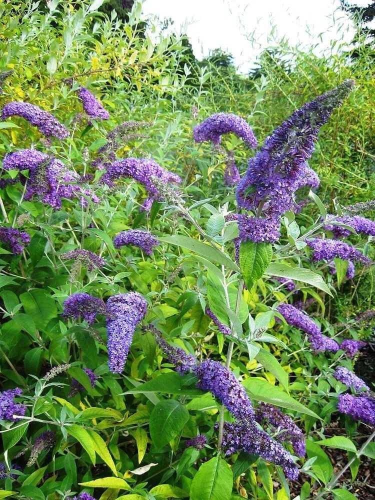 Buddleja davidii 'Dart's Purple Rain'
